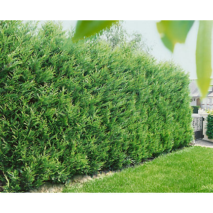 Image for Leyland Cypress Hedge - 23cm from StoreName