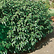 Cherry Laurel Hedge - 23cm