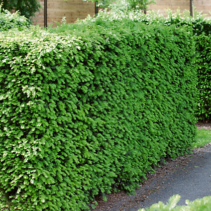 Image for English Yew Hedge - 23cm from StoreName