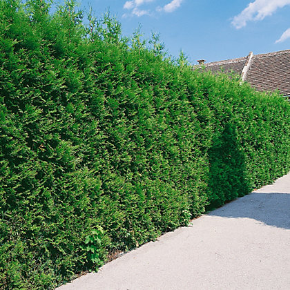 Image for Western Red Cedar Brabant Hedge - 23cm from StoreName