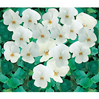 Viola White Bedding Plant