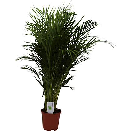 Image for Areca Palm - 19cm from StoreName