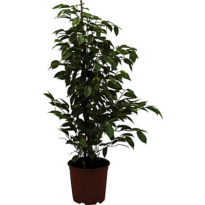 Image for Ficus Gold King - 21cm from StoreName