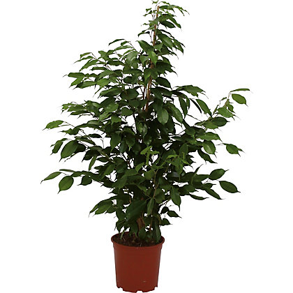 Image for Ficus Exotica - 21cm from StoreName