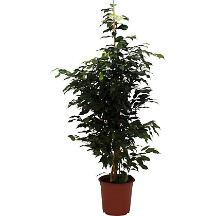 Image for Ficus Danielle - 24cm from StoreName
