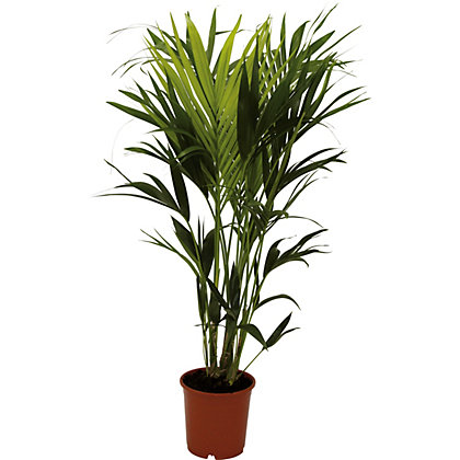 Image for Kentia Palm - 24cm from StoreName