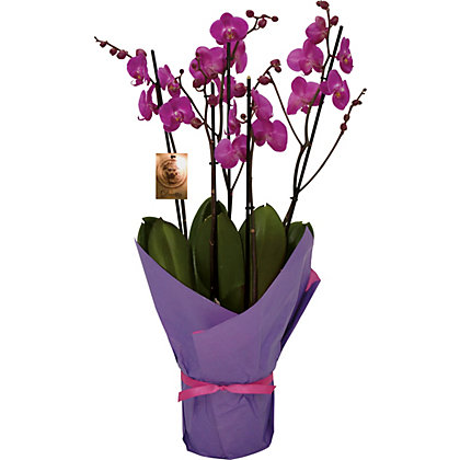 Image for Gift Wrapped Orchid - Pink from StoreName