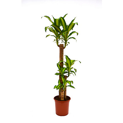 dracaena massangeana corn palm houseplant 24cm. Black Bedroom Furniture Sets. Home Design Ideas