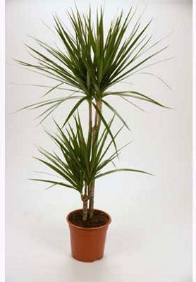 dracaena marginata madagascar dragon tree houseplant. Black Bedroom Furniture Sets. Home Design Ideas
