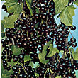 Blackcurrant Fruit Bush - 3.5L
