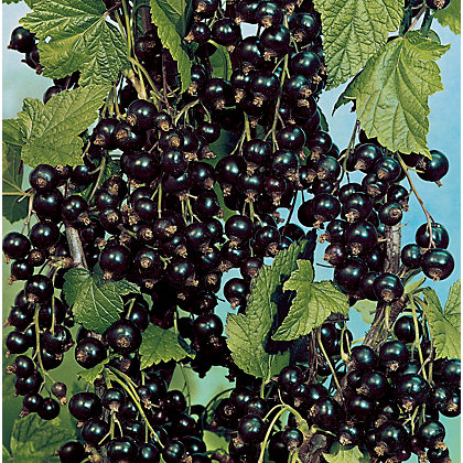 Image for Blackcurrant Fruit Bush - 3.5L from StoreName