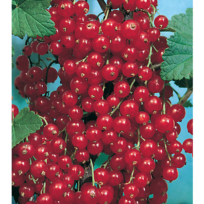 Image for Redcurrant Fruit Bush - 3.5L from StoreName