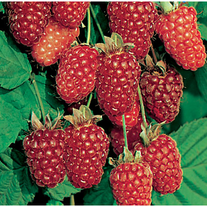 Image for Loganberry Fruit Bush - 3.5L from StoreName