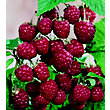 Raspberry Fruit Bush - 3.5L