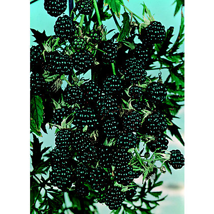 Image for Blackberry Fruit Bush - 3.5L from StoreName