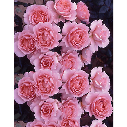 Image for Bush Roses – 3.5L from StoreName