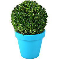 Buxus Ball Evergreen Shrub in Coloured Pot