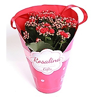 Kalanchoe In Red Wrap