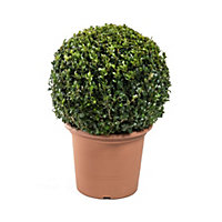 Buxus Ball Topiary Plant - Small