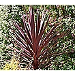 Small Cordyline Red Star