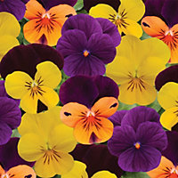 Viola Sunglow - 12 Plants