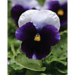Pansy Beaconsfield - 6 Plants