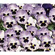Pansy Blue Frost - 6 Plants