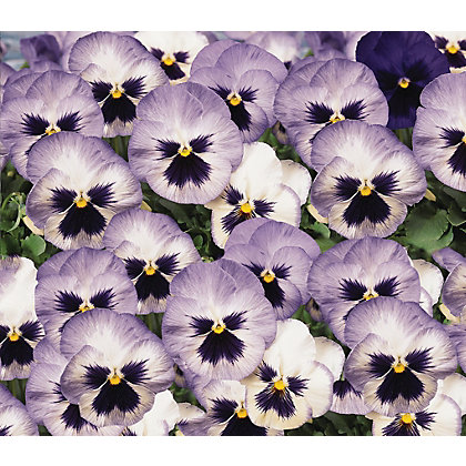 Image for Pansy Blue Frost - 6 Plants from StoreName