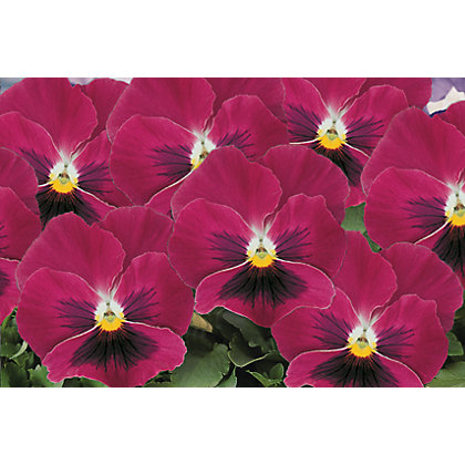 Image for Pansy Rose Blotch - 6 Plants from StoreName