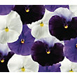 Pansy Ocean Wave - 6 Plants