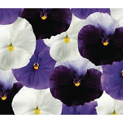 Image for Pansy Ocean Wave - 6 Plants from StoreName