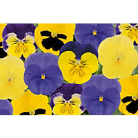 Pansy Sunshine - 6 Plants