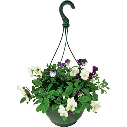 Trailing Pansy Berries And Cream Hanging Basket 25cm