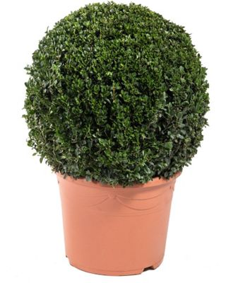 Architectural plants topiary bay trees at homebase for Garden trees homebase
