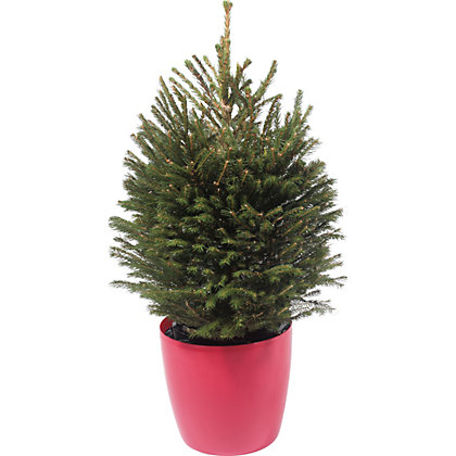 Image for Living Norway Spruce Christmas Tree - 2-2.5ft from StoreName