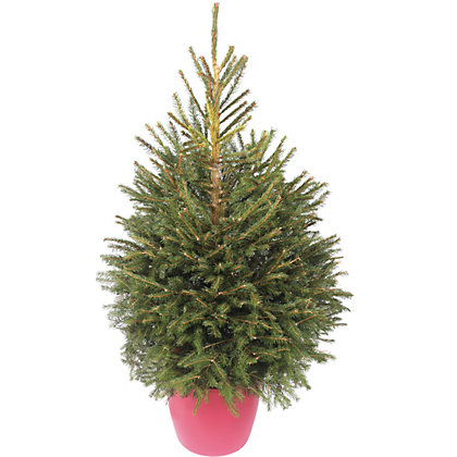 Image for Living Norway Spruce Christmas Tree 3.5-4ft from StoreName