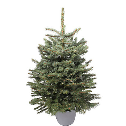 Image for Living Blue Spruce Christmas Tree 2.5-3ft from StoreName