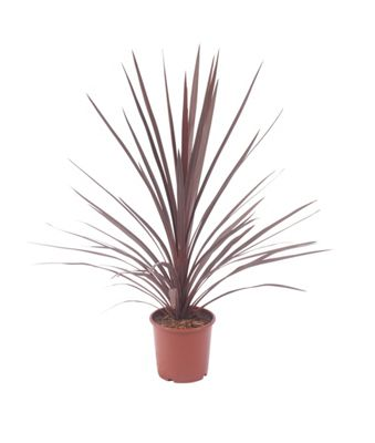 homebase large cordyline red star customer reviews. Black Bedroom Furniture Sets. Home Design Ideas
