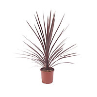 Large Cordyline Red Star Architectural Plant - 17cm