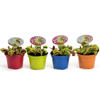 Image for Venus Fly Trap - 9cm from StoreName
