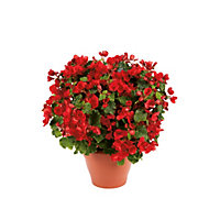 Red Betulia Bedding Plant- 23cm