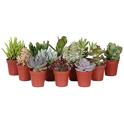 Succulent mix houseplant 6cm at homebase be inspired for Garden trees homebase