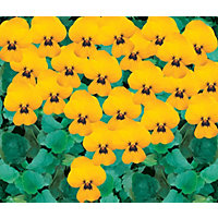 Viola Yellow Bedding Plant