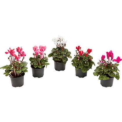 Image for Autumn Mini Cyclamen - 9cm from StoreName